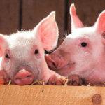 「若返り効果」を実証 豚の胎盤から抽出「プラセンタ」