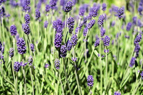AVEDA lavender-1485020_640