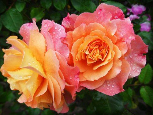 花rose-174817_640