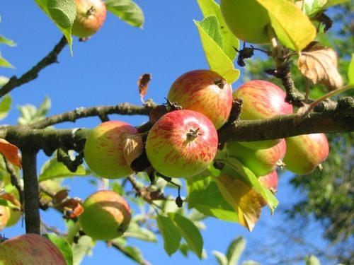 リンゴapple-tree-360083_640