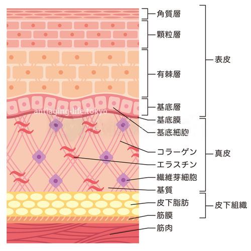 肌 皮膚 断面図